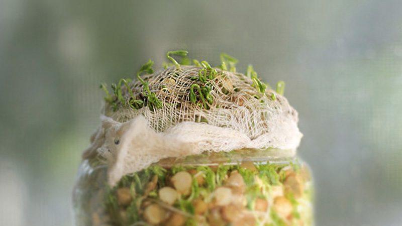 graines germées diy salade
