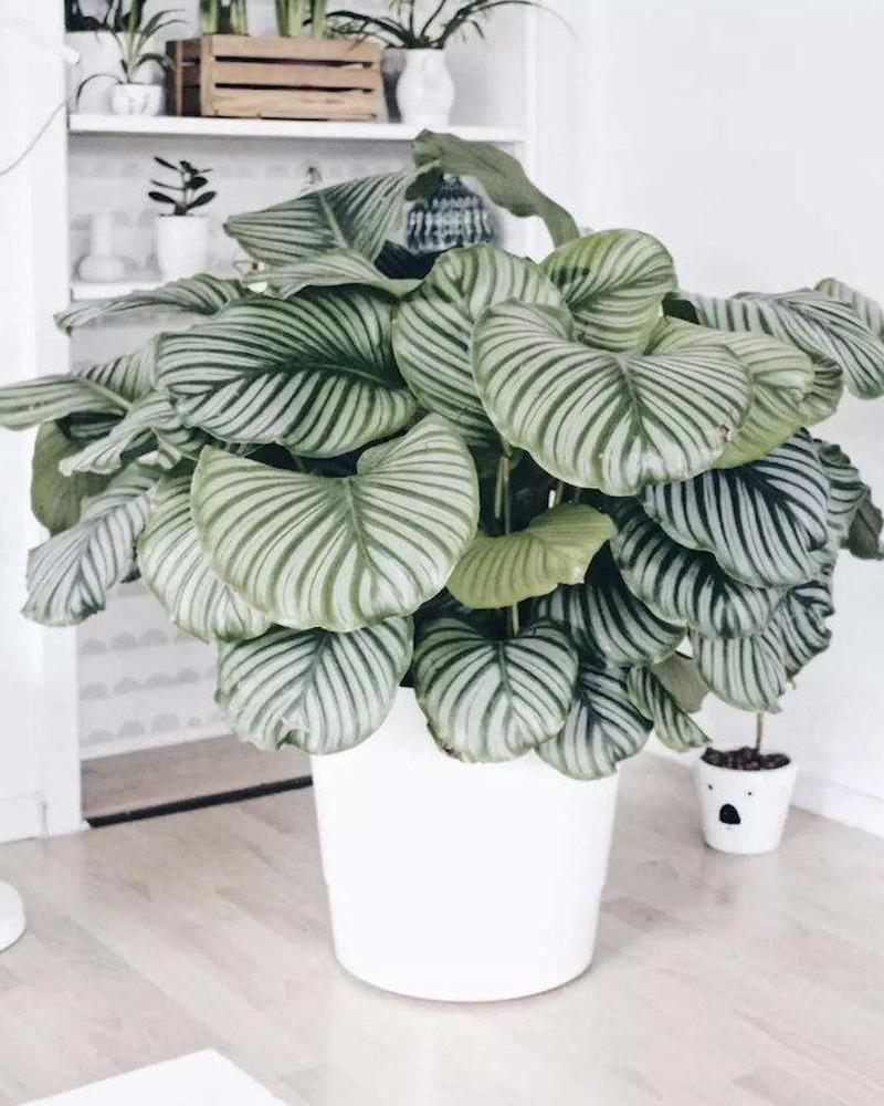 deco plante tendance calathea