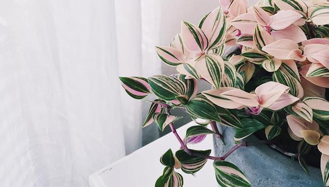 plante rose