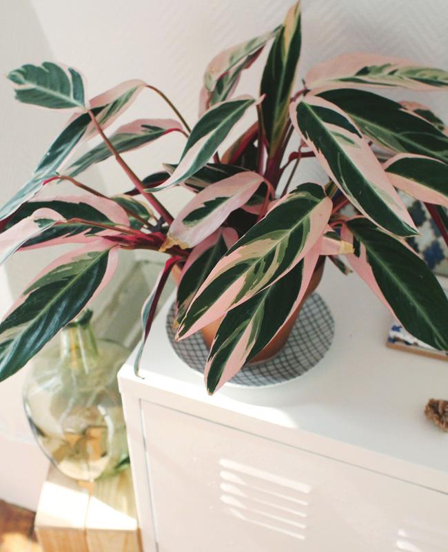 plante rose calathea triostar