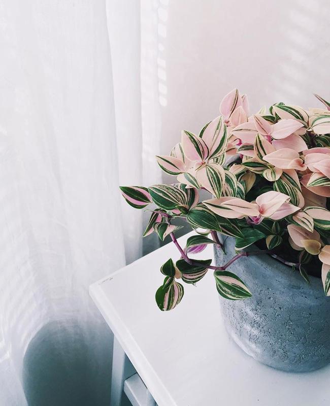 plante rose tradescantia tricolor