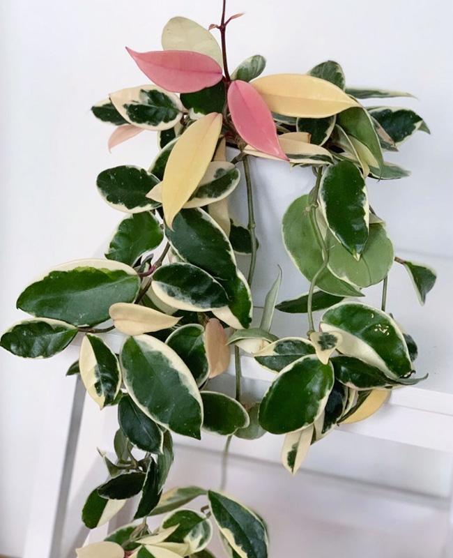 plante rose hoya krimson queen